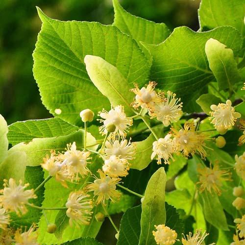 Rundes Bild, das eine Nahaufnahme eines Lindenbaumes mit Blüten zeigt.